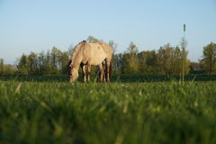 Horse. Beautiful horse eating grass Royalty Free Stock Images