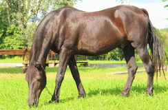 The horse. Beautiful horse eating green grass royalty free stock images