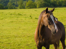 Horse in Beautiful Green Field in British Morning Royalty Free Stock Photo