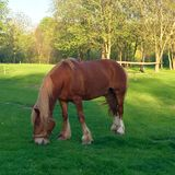 Horse. Beautiful horse on green to the meadow, beautiful light falls. There is a tree on a back background Royalty Free Stock Photos