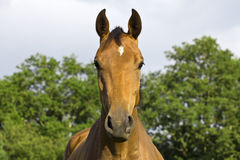 Horse.. Royalty Free Stock Photography
