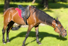Horse. Beautiful horses race horse pasture grass Stock Photography