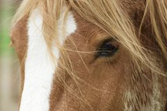 Horse with a beautiful mane close-up. A brown stable horse with a beautiful mane Royalty Free Stock Images