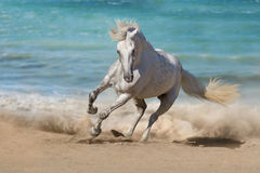 Horse. Beautiful horse run along the shore of the sea Stock Photos