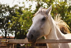 Horse. Beautiful horse standing in padock Royalty Free Stock Photography