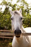 Horse. Beautiful horse standing in padock Stock Photography