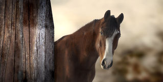 Horse. Beautiful horse at sunrise next to a wood barn in the morning light Royalty Free Stock Images