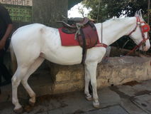 Horse. Beautiful white horse on the streets  of mumbai Stock Images