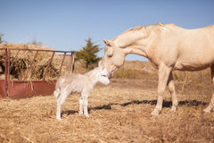 Horse befriends newborn donkey Stock Photography