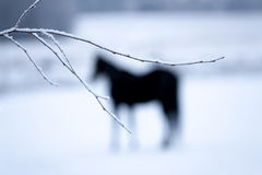 Horse Behind the Branch. Black horse behind the branch royalty free stock photo