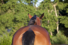Horse from behind Stock Photography
