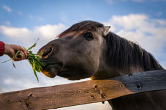 Horse behind the Fence Royalty Free Stock Images