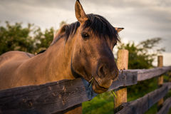 Horse behind the Fence Royalty Free Stock Photo