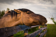 Horse behind the Fence Stock Image