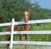 Horse Behind White Fence. Chestnut horse on a ranch or farm behind a white fence Royalty Free Stock Photo
