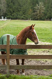 Horse behind wooden fence Stock Images