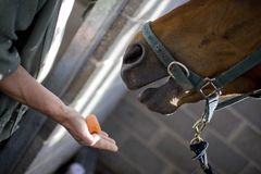 Horse being fed Carrot in stables Royalty Free Stock Photos