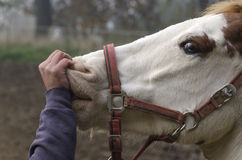 Horse while being stroked  Royalty Free Stock Photo