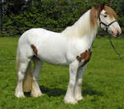 Horse. Big skewbald heavy gypsy vanner horse stock photos