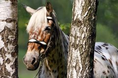 Horse in birches. The portrait of spotted horse in birches stock photography