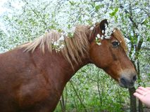 Horse and bird cherry blossom royalty free stock photos