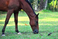 Horse and Bird Feeding Together Royalty Free Stock Photography