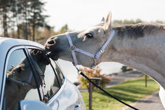 Horse is biting the car trim. Horse is biting the new car trim royalty free stock photo