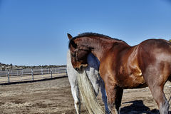 Horse Biting Tail of another Horse Royalty Free Stock Images