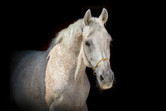 Horse on the black background Royalty Free Stock Photography