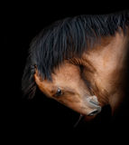 Horse on black. Bay horse on a black bending its neck Royalty Free Stock Images