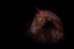 Horse on black. Bay horse portrait on black Stock Photography