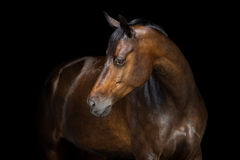 Horse on black. Beautiful bay horse portrait close up on black background Stock Images