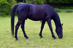 Horse of black color in a small . Stock Photography