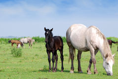 Horse and black foal on pasture Royalty Free Stock Photos