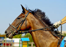 horse with black mane and bridle leather color Royalty Free Stock Image
