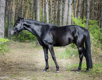 Horse with black mane are standing on the grass on a background of green trees. Brown horse with black mane are standing on the grass on a background of green Royalty Free Stock Images