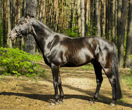 Horse with black mane are standing on the grass on a background of green trees. Brown horse with black mane are standing on the grass on a background of green Stock Photo