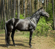 Horse with black mane are standing on the grass on a background of green trees.j. Brown horse with black mane are standing on the grass on a background of green Stock Image