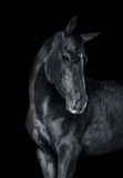 The horse on black monochrome portrait. Horse on black monochrome portrait stock photo
