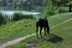 Horse. Black horse pond nature pond summer landscape grass royalty free stock photo