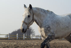 Horse with black spots walks in the paddock Stock Image