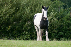 Horse, Black and White Stock Photography
