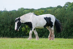 Horse, Black and White royalty free stock image