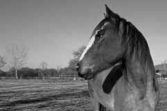 Horse black & white Royalty Free Stock Photos