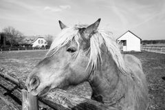 Horse in black and white. Closeup of a draft horse, the horse in black and white horse in the corral, the horse on a sunny day, a horse for use in towing timber Royalty Free Stock Image