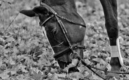 Horse, Black And White, Bridle, Horse Like Mammal Stock Images