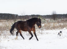 Horse and a black and white dog playing in the snow field in winter. Brown horse and a black and white dog playing in the snow field in winter Royalty Free Stock Photo