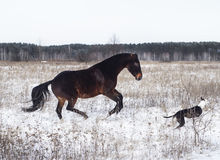 Horse and a black and white dog playing in the snow field in winter. Brown horse and a black and white dog playing in the snow field in winter Royalty Free Stock Photography
