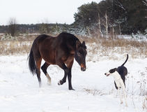 Horse and a black and white dog playing in the snow field in winter. Brown horse and a black and white dog playing in the snow field in winter Royalty Free Stock Image