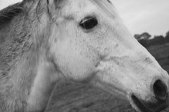 Horse, Black And White, Mane, Fauna Stock Photo
